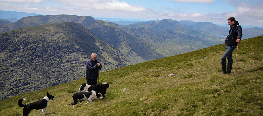 Collecting Sheep on MacGillycuddy Reeks
